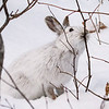 Close Encounter with a Snowshoe Hare 14