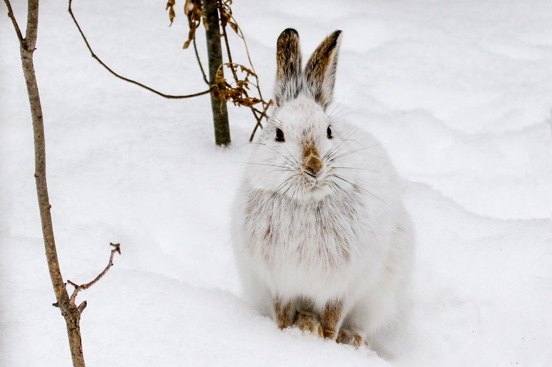 Close Encounter with a Snowshoe Hare 21