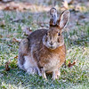 Snowshoe Hare in Spring 2