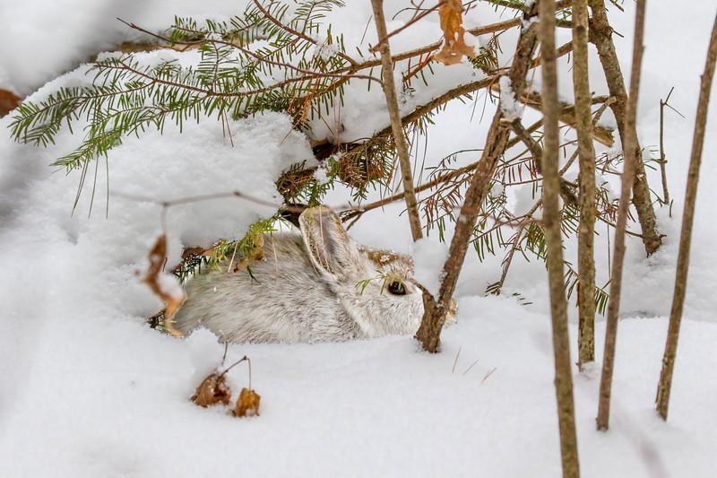 Snow Bunny (1)