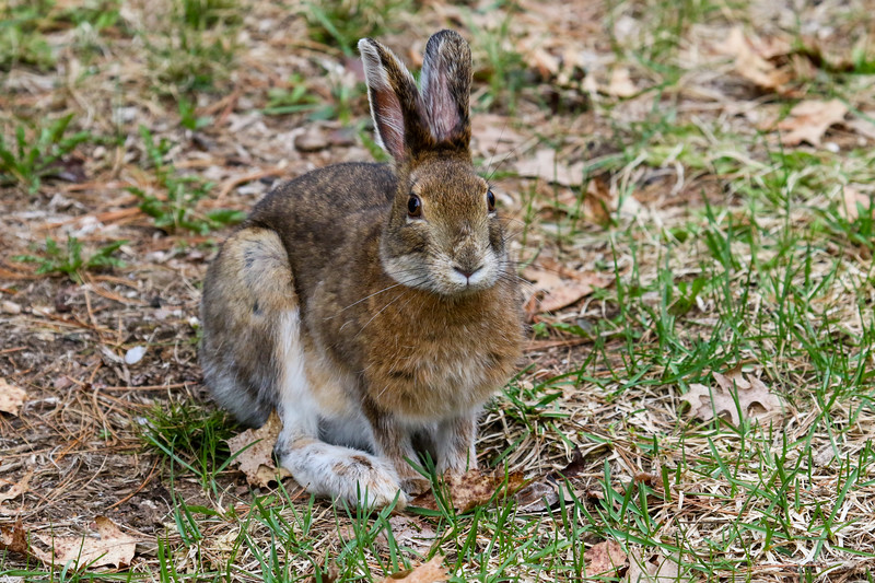 Snowshoe Hare in Spring 1