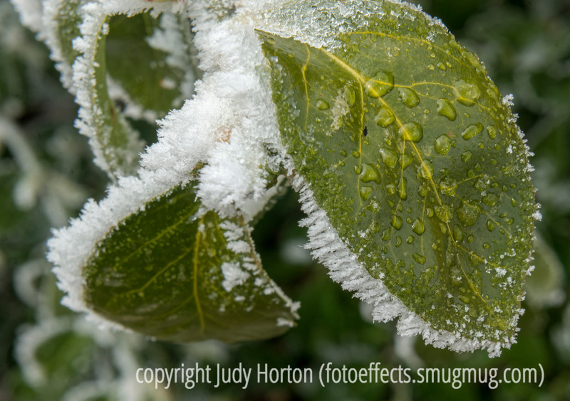 Euonymous Leaves with Hoarfrost