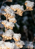 Snow on Caryopteris Seedheads