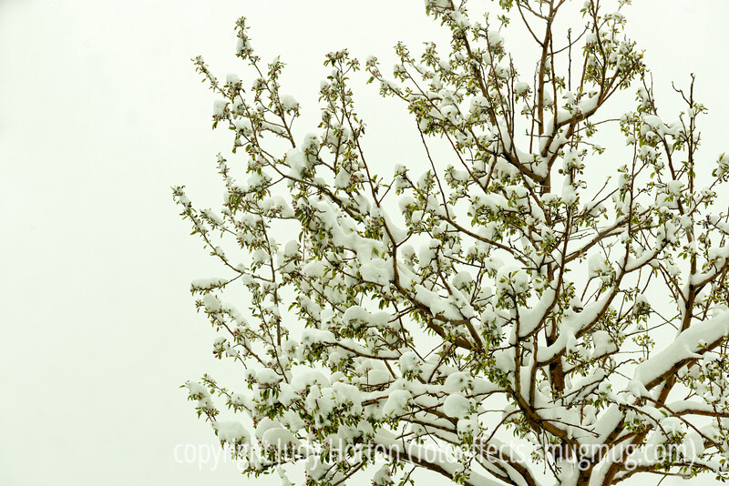 April Snow on the Crabapple