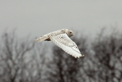 Snowy Owl (3) in Spring Hill, TN (01-17-2009)