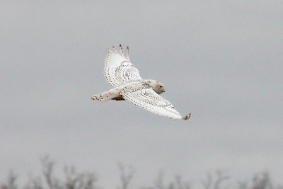 Snowy Owl (2) in Spring Hill, TN (01-17-2009)