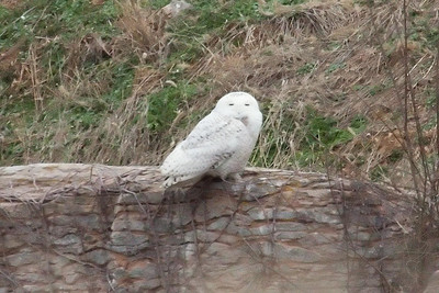 Snowy Owl (7) in Spring Hill, TN (01-17-2009)