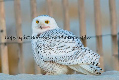Snowy Owl-107