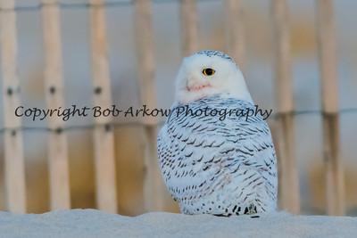 Snowy Owl-048