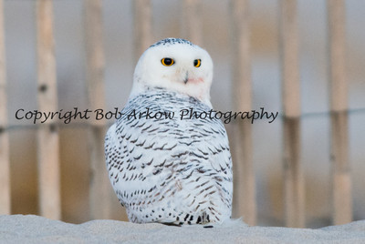 Snowy Owl-021