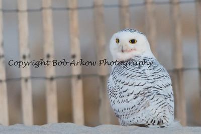 Snowy Owl-009