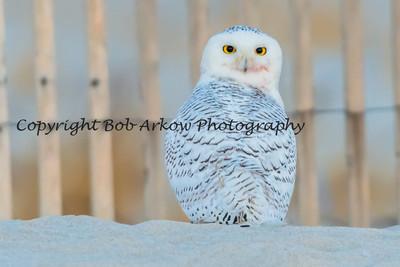 Snowy Owl-074