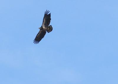 Juvenile Bald Eagle overhead