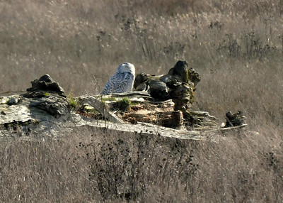 Snowy Owl from about 100 yards