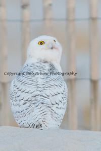Snowy Owl-062
