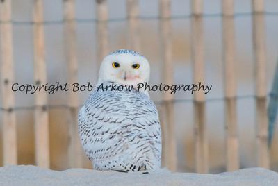 Snowy Owl-028