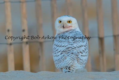 Snowy Owl-104