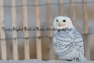 Snowy Owl-011