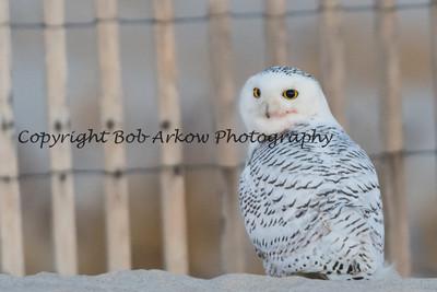 Snowy Owl-010