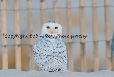 Snowy Owl-027