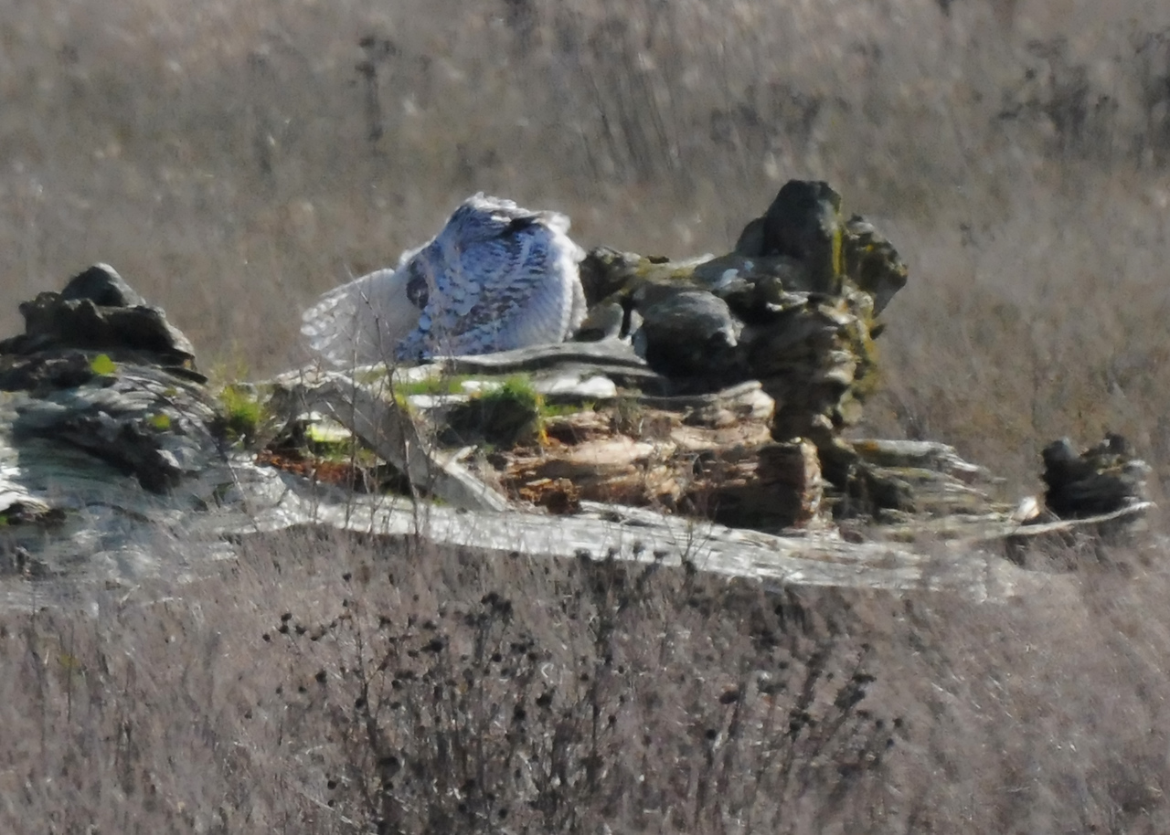 Snowy Owl from about 100 yards, pruning.