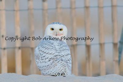 Snowy Owl-031
