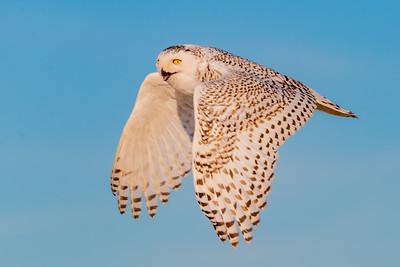 20201223-Snowy  Owls 12-23-20850_7244