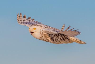 20201223-Snowy  Owls 12-23-20850_7243