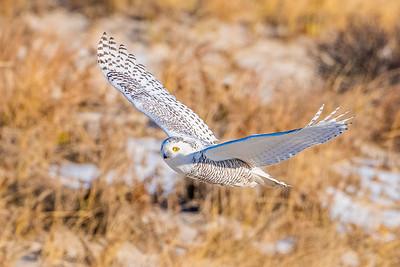 20201223-Snowy  Owls 12-23-20850_7217