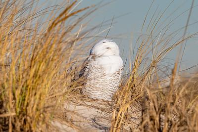 20201223-Snowy  Owls 12-23-20850_7197