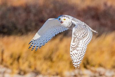20201223-Snowy  Owls 12-23-20850_7224