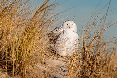 20201223-Snowy  Owls 12-23-20850_7127