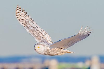 20201223-Snowy  Owls 12-23-20850_7233