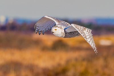 20201223-Snowy  Owls 12-23-20850_7238