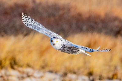 20201223-Snowy  Owls 12-23-20850_7223