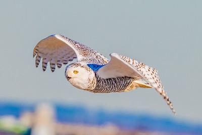 20201223-Snowy  Owls 12-23-20850_7232
