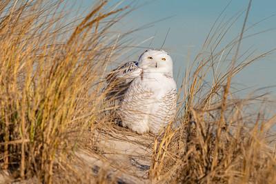 20201223-Snowy  Owls 12-23-20850_7128