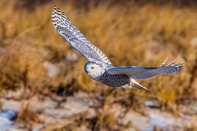 20201223-Snowy  Owls 12-23-20850_7220
