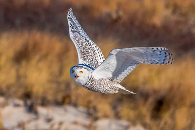 20201223-Snowy  Owls 12-23-20850_7222