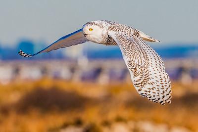 20201223-Snowy  Owls 12-23-20850_7234
