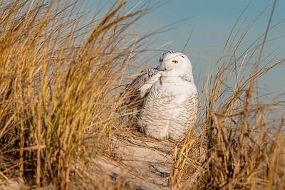 20201223-Snowy  Owls 12-23-20850_7125