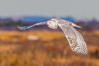 20201223-Snowy  Owls 12-23-20850_7237
