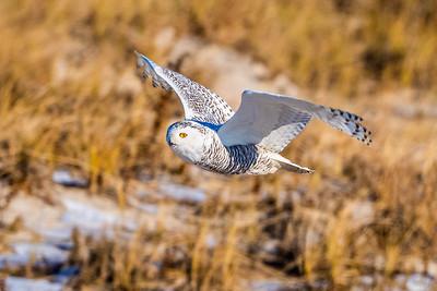 20201223-Snowy  Owls 12-23-20850_7219