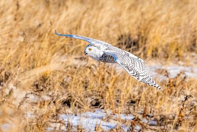 20201223-Snowy  Owls 12-23-20850_7207
