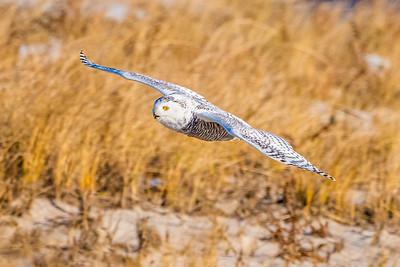 20201223-Snowy  Owls 12-23-20850_7213