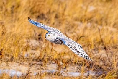 20201223-Snowy  Owls 12-23-20850_7210