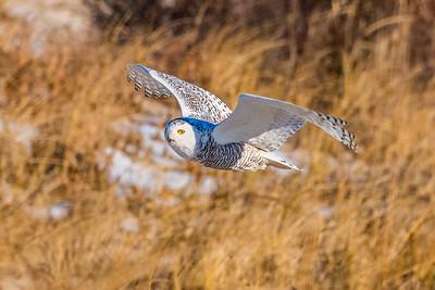 20201223-Snowy  Owls 12-23-20850_7216