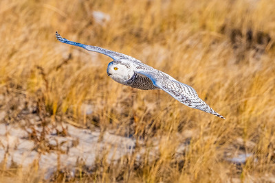 20201223-Snowy  Owls 12-23-20850_7212