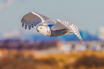 20201223-Snowy  Owls 12-23-20850_7235