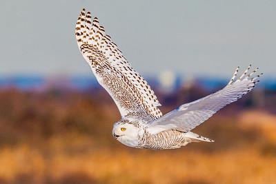 20201223-Snowy  Owls 12-23-20850_7239